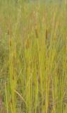 Bulrush family (Typhaceae)