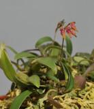 Bulbophyllum japonicum.