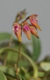Bulbophyllum japonicum. Closer.