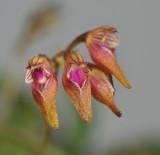 Bulbophyllum japonicum. Close-up.