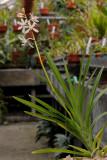 Dipodium paludosum.