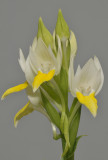 Pecteilis sagarikii. Closer.