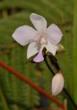 Spathoglottis papuana.