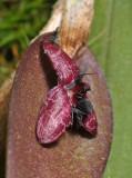 Bulbophyllum tindemansianum