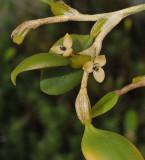 Bulbophyllum cimicinum