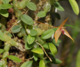 Bulbophyllum auriculatum.