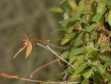 Bulbophyllum auriculatum. Side.