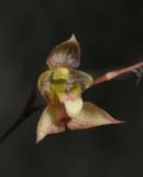 Bulbophyllum cymbidioides. Close-up.