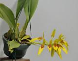Bulbophyllum graveolens.