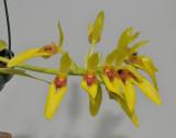 Bulbophyllum graveolens. Closer.