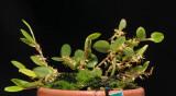 Bulbophyllum clandestinum aff.