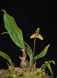 Bulbophyllum aspersum.