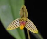 Bulbophyllum aspersum. Close-up.