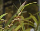 Bulbophyllum spec.