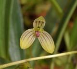 Bulbophyllum spec. Close-up.