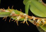 Bulbophyllum clandestinum aff. Close-up 20032110.