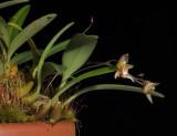 Bulbophyllum cymbidioides.