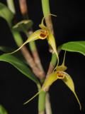 Bulbophyllum erythrosema. Closer.