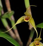 Bulbophyllum erythrosema. Close-up.
