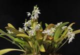 Bulbophyllum infundibuliforme.