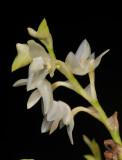 Bulbophyllum infundibuliforme. Closer.