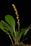 Bulbophyllum longimucronatum.