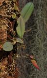Bulbophyllum scotinochiton.