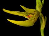 Bulbophyllum oobulbon. Close-up.