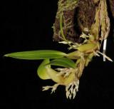 Bulbophyllum fractiflexum.