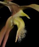 Bulbophyllum klabatense subsp sulawesii. Close-up.