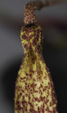 Bulbophyllum dischorense. Close-up.