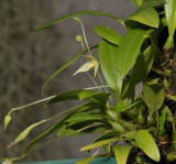Bulbophyllum aphanopetalum.