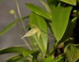Bulbophyllum aphanopetalum. Closer.