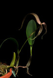 Bulbophyllum bandischii.