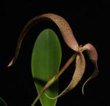 Bulbophyllum bandischii. Closer.