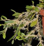 Bulbophyllum clandestinum.