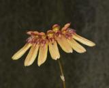 Bulbophyllum longiflorum.