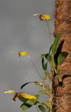 Bulbophyllum quadrangulare.