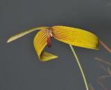 Bulbophyllum quadrangulare. Closer.