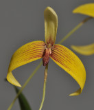 Bulbophyllum quadrangulare. Close-up.