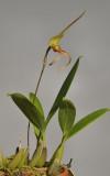 Bulbophyllum schmidii.
