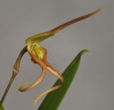 Bulbophyllum schmidii. Closer.
