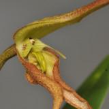 Bulbophyllum schmidii. Close-up.