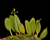 Bulbophyllum spec. sect. Lepanthanthe.