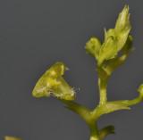 Bulbophyllum spec. sect. Lepanthanthe. Closer-up.