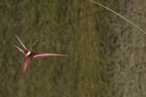 Bulbophyllum spec. sect. Intervallatae