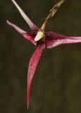 Bulbophyllum spec. sect. Intervallatae. Close-up.
