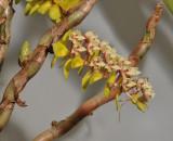 Pinalia latibracteata