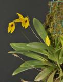 Pleurothallis condylata.