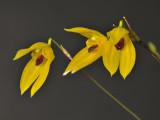 Pleurothallis condylata. Close-up.